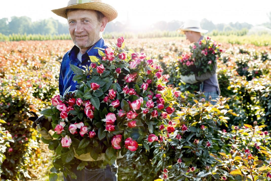 Rosen;Stauden;Ruland;Blumen